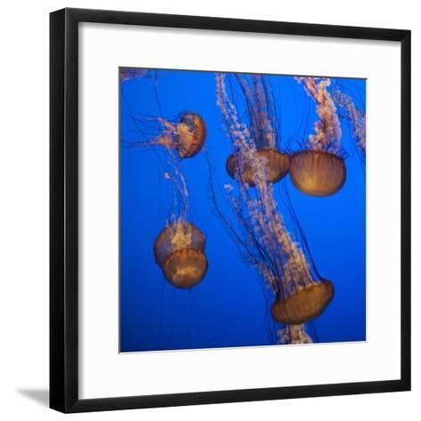 Lion's Mane Jellyfish-Richard T. Nowitz-Framed Art Print