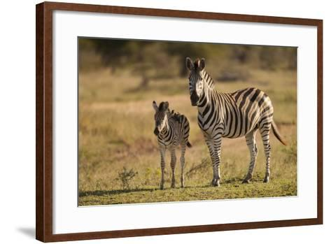 Burchell's Zebra Foal and Mother-Michele Westmorland-Framed Art Print