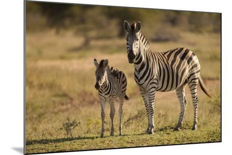 Burchell's Zebra Foal and Mother-Michele Westmorland-Mounted Photographic Print