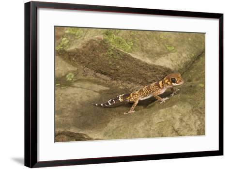 Thick-Tailed Gecko-Joe McDonald-Framed Art Print