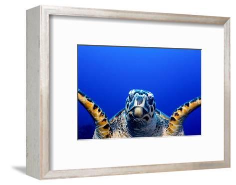 Green Turtle (Chelonia Mydas)-Stephen Frink-Framed Art Print