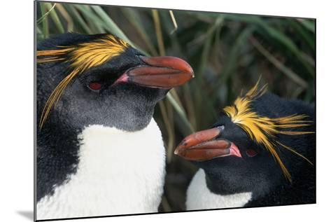 Pair of Nesting Macaroni Penguins-W^ Perry Conway-Mounted Photographic Print
