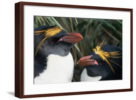 Pair of Nesting Macaroni Penguins-W^ Perry Conway-Framed Art Print