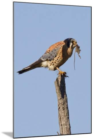 American Kestrel Eating a Rodent-Hal Beral-Mounted Photographic Print