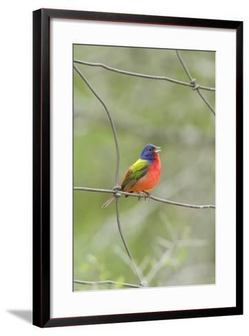 Painted Bunting Perching on Wire Fence-Gary Carter-Framed Art Print