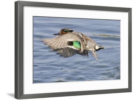 Male Green-Winged Teal Duck Takes Off-Hal Beral-Framed Art Print