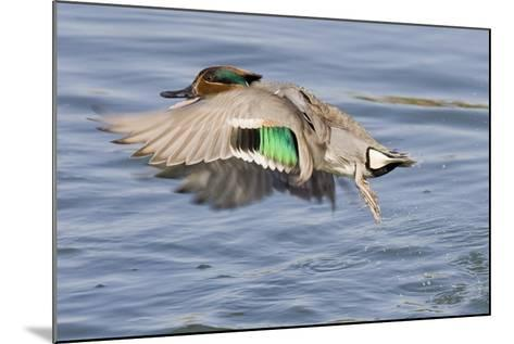 Male Green-Winged Teal Duck Takes Off-Hal Beral-Mounted Photographic Print
