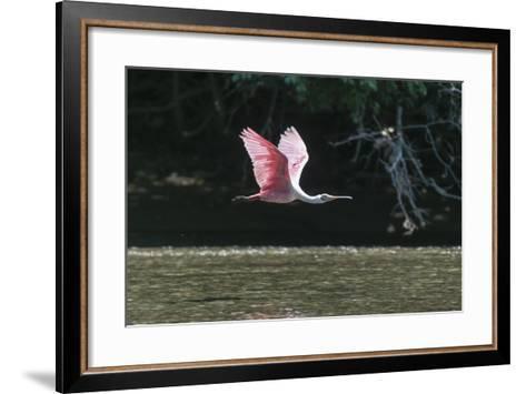 Roseate Spoonbill (Platalea Ajaja)-Sergio Pitamitz-Framed Art Print