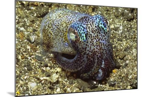 Berry's Bobtail Squid-Hal Beral-Mounted Photographic Print