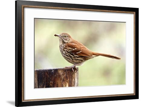 Brown Thrasher Standing on Tree Stump, Mcleansville, North Carolina, USA-Gary Carter-Framed Art Print