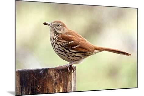 Brown Thrasher Standing on Tree Stump, Mcleansville, North Carolina, USA-Gary Carter-Mounted Photographic Print
