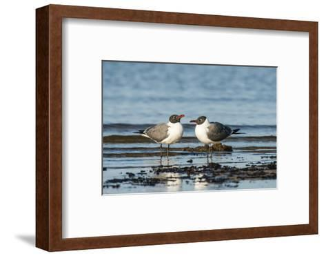 View of Laughing Gull Standing in Water-Gary Carter-Framed Art Print