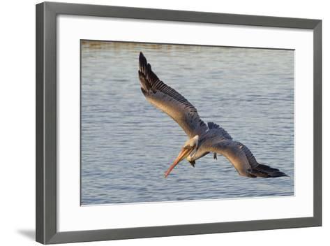 Brown Pelican in Breeding Plummage Flying-Hal Beral-Framed Art Print