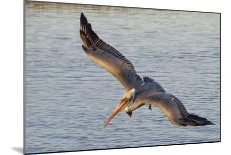 Brown Pelican in Breeding Plummage Flying-Hal Beral-Mounted Photographic Print