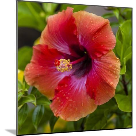 Close-Up of Hibiscus Flower-Richard T. Nowitz-Mounted Photographic Print