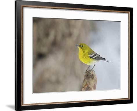 Pine Warbler-Gary Carter-Framed Art Print