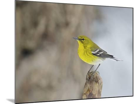 Pine Warbler-Gary Carter-Mounted Photographic Print