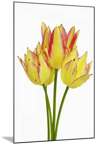 Tulip-Frank Krahmer-Mounted Photographic Print