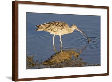 Long-Billed Curlew Catchs a Clam-Hal Beral-Framed Art Print