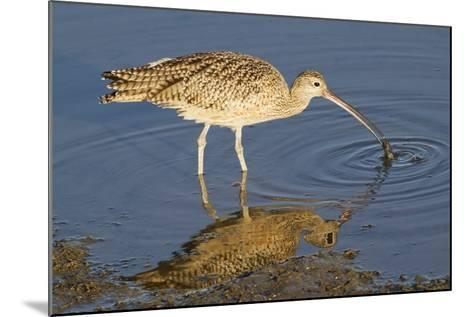 Long-Billed Curlew Catchs a Clam-Hal Beral-Mounted Photographic Print