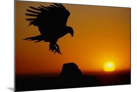 Golden Eagle at Sunset-W^ Perry Conway-Mounted Photographic Print