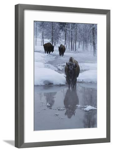 Bison Standing along a Stream in Winter-W^ Perry Conway-Framed Art Print