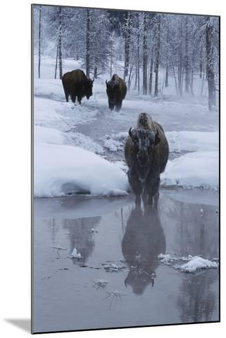 Bison Standing along a Stream in Winter-W^ Perry Conway-Mounted Photographic Print