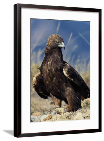 Golden Eagle Clutching Rabbit Kill-W^ Perry Conway-Framed Art Print