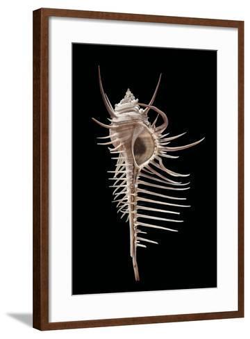 Murex Pecten (Peigne De V?nus)-Paul Starosta-Framed Art Print