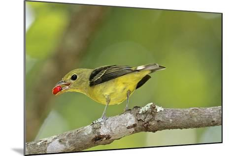 Summer Tanager-Gary Carter-Mounted Photographic Print