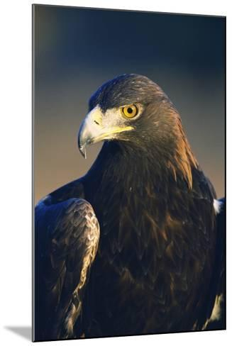 Golden Eagle-W^ Perry Conway-Mounted Photographic Print