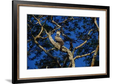 Young Harpy Eagle Perched in Tree-W^ Perry Conway-Framed Art Print