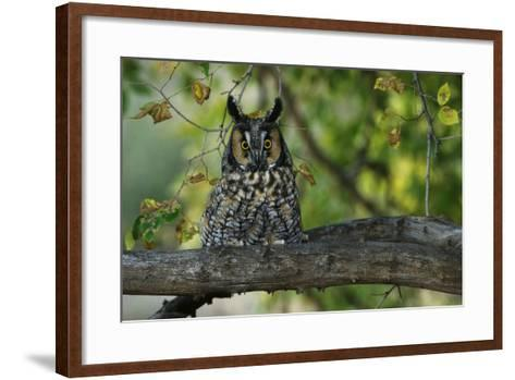 Long-Eared Owl Perched on Tree Branch-W^ Perry Conway-Framed Art Print