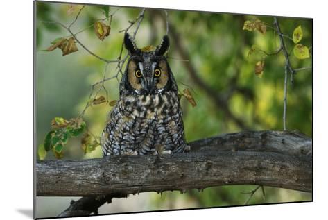 Long-Eared Owl Perched on Tree Branch-W^ Perry Conway-Mounted Photographic Print