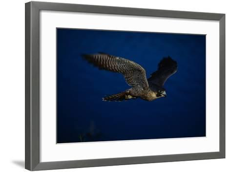 Peregrine Falcon Flying over a Lake-W^ Perry Conway-Framed Art Print