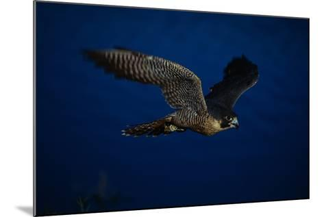 Peregrine Falcon Flying over a Lake-W^ Perry Conway-Mounted Photographic Print
