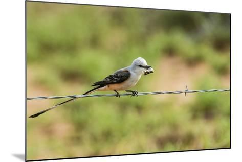 Scissor-Tailed Flycatcher-Gary Carter-Mounted Photographic Print
