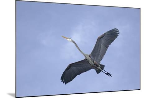 Great Blue Heron in Flight-Arthur Morris-Mounted Photographic Print