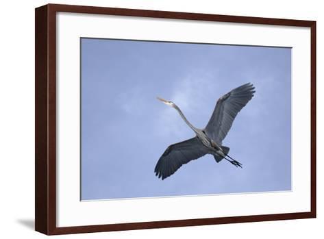 Great Blue Heron in Flight-Arthur Morris-Framed Art Print