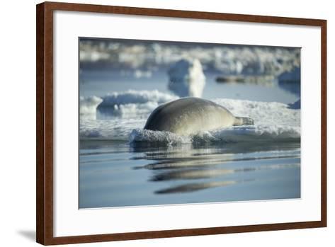 Bearded Seal Dives from Sea Ice in Hudson Bay, Nunavut, Canada-Paul Souders-Framed Art Print