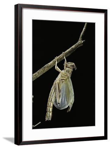 Schistocerca Gregaria (Desert Locust) - Emerging-Paul Starosta-Framed Art Print