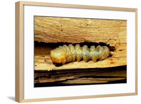 Cerambyx Cerdo (Great Capricorn Beetle) - Larva-Paul Starosta-Framed Art Print