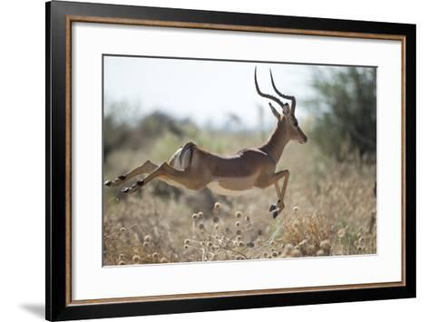Leaping Impala, Moremi Game Reserve, Botswana-Paul Souders-Framed Art Print