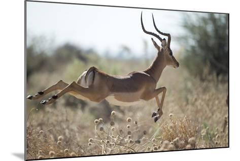 Leaping Impala, Moremi Game Reserve, Botswana-Paul Souders-Mounted Photographic Print