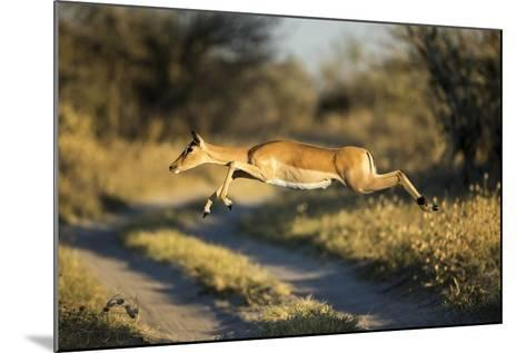 Leaping Impala, Moremi Game Reserve, Botswana-Paul Souders-Mounted Photographic Print