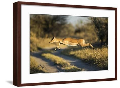 Leaping Impala, Moremi Game Reserve, Botswana-Paul Souders-Framed Art Print