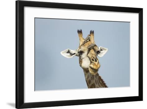 Giraffe and Red-Billed Oxpeckers, Moremi Game Reserve, Botswana-Paul Souders-Framed Art Print