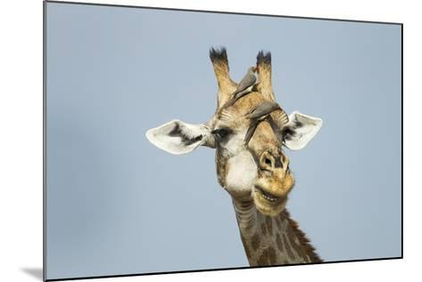 Giraffe and Red-Billed Oxpeckers, Moremi Game Reserve, Botswana-Paul Souders-Mounted Photographic Print