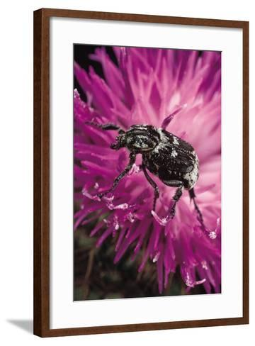 Valgus Hemipterus (Flower Beetle)-Paul Starosta-Framed Art Print