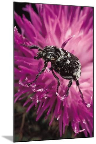 Valgus Hemipterus (Flower Beetle)-Paul Starosta-Mounted Photographic Print
